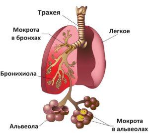 Схематичное изображение легких